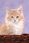 Maine Coon K�tzchen Portrait / maine coon kitten portrait