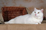 liegender wei�er BKH-Mix / lying white domestic cat
