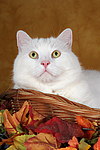 wei�er BKH-Mix / white domestic cat