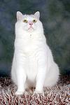 sitzender wei�er BKH-Mix / sitting white domestic cat
