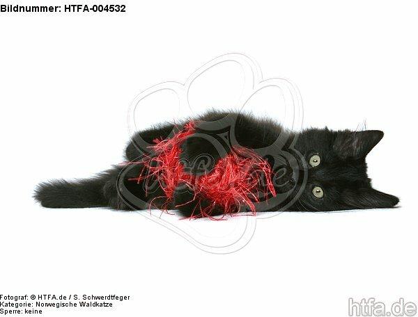 Norwegische Waldkatze K�tzchen / norwegian forestcat kitten / HTFA-004532