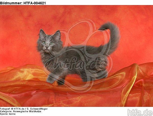 Norwegische Waldkatze K�tzchen / norwegian forestcat kitten / HTFA-004621