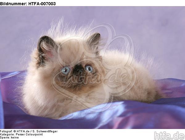 Perser Colourpoint K�tzchen / persian colourpoint kitten / HTFA-007003