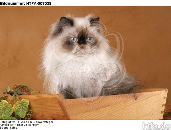 Perser Colourpoint / persian colourpoint / HTFA-007038