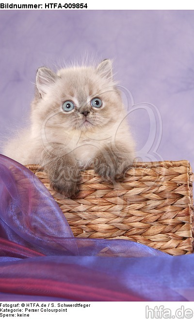 Perser Colourpoint K�tzchen / persian colourpoint kitten / HTFA-009854