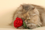 europ�ische Perserkatze mit Rose / european perser with rose
