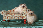 2 Perser Colourpoint K�tzchen / 2 persian colourpoint kitten