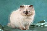 stehendes Perser Colourpoint K�tzchen / standing persian colourpoint kitten