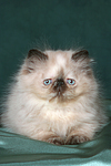 liegendes Perser Colourpoint K�tzchen / lying persian colourpoint kitten