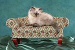 liegendes Perser Colourpoint K�tzchen / lying persian colourpoint kitten