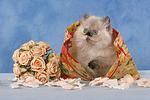 sitzendes Perser Colourpoint K�tzchen / sitting persian colourpoint kitten