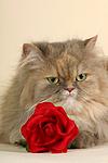 europ�ische Perserkatze mit Rose / european perser with rose
