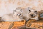 liegende Perser Colourpoint K�tzchen / lying persian colourpoint kitten