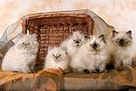 5 Perser Colourpoint K�tzchen / 5 persian colourpoint kitten