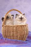 Perser Colourpoint K�tzchen im K�rbchen / persian colourpoint kitten in basket