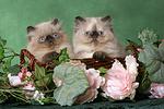 2 Perser Colourpoint K�tzchen / 2 persian colourpoint kitten