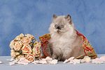 sitzendes Perser Colourpoint K�tzchen / sitting persian colourpoint kitten