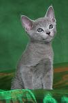Russisch Blau K�tzchen / russian blue kitten