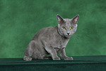 Russisch Blau / russian blue