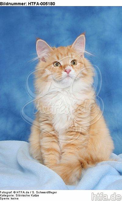 Sibirische Katze / siberian cat / HTFA-005180