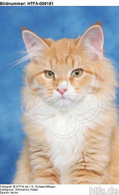 Sibirische Katze / siberian cat / HTFA-005181