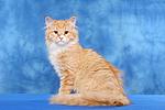 Sibirische Katze / siberian cat