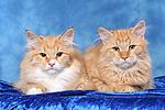 Sibirische Katzen / siberian cats