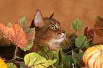 Somali Portrait / somalian cat portrait