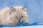 spielendes Perser Colourpoint K�tzchen / playing persian colourpoint kitten