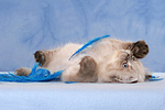 spielendes Perser Colourpoint K�tzchen / playing persian colourpoint kitten