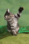 spielendes Norwegisches Waldk�tzchen / playing Norwegian Forestcat kitten
