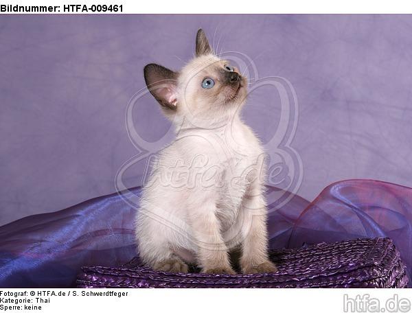 sitzendes Thai K�tzchen / sitting thai kitten / HTFA-009461