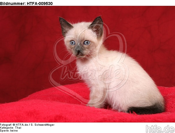 sitzendes Thai K�tzchen / sitting thai kitten / HTFA-009530
