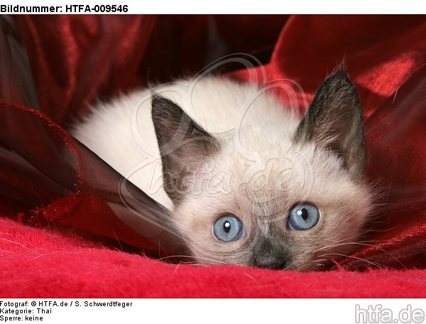 liegendes Thai K�tzchen / lying thai kitten / HTFA-009546