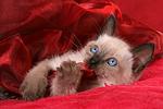 liegendes Thai K�tzchen / lying thai kitten