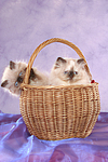 Perser Colourpoint K�tzchen im K�rbchen / persian colourpoint kitten in basket