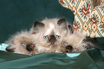 3 Perser Colourpoint K�tzchen / 3 persian colourpoint kitten