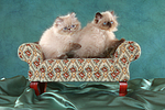 sitzende Perser Colourpoint K�tzchen / sitting persian colourpoint kitten