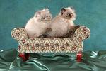 sitzende Perser Colourpoint K�tzchen / sitting persian colourpoint kitten