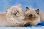 liegende Perser Colourpoint K�tzchen / lying persian colourpoint kitten