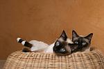 liegende Thaikatzen / lying thais