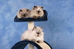 Perser Colourpoint K�tzchen auf Kratzbaum / persian colourpoint kitten on cat-tree