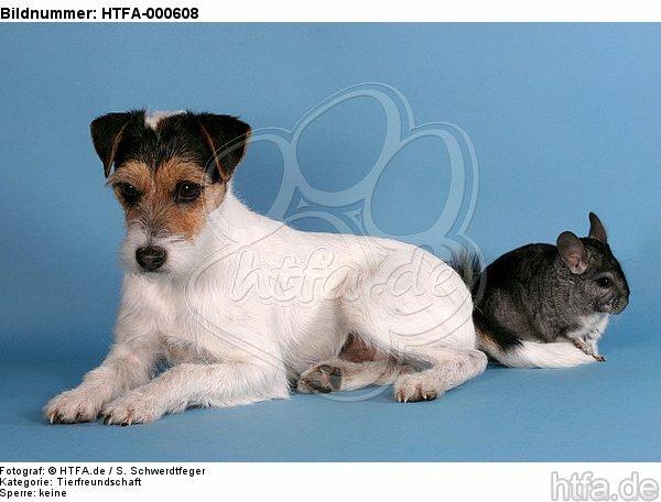 Parson Russell Terrier und Chinchilla / prt and chinchilla / HTFA-000608