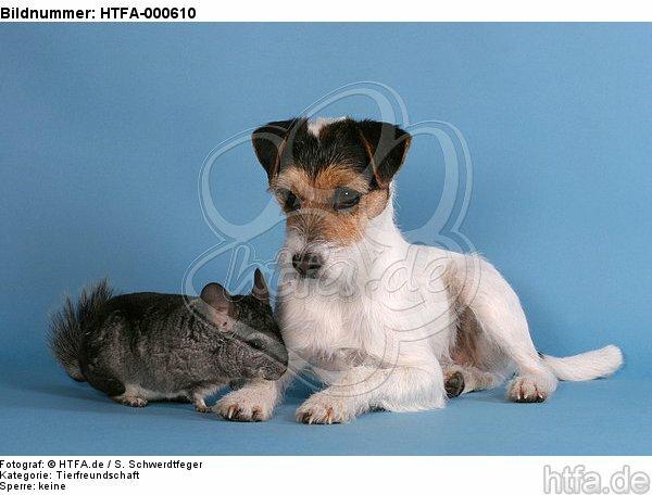 Parson Russell Terrier und Chinchilla / prt and chinchilla / HTFA-000610