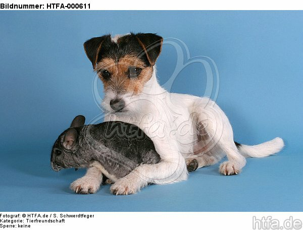 Parson Russell Terrier und Chinchilla / prt and chinchilla / HTFA-000611
