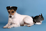Parson Russell Terrier und Chinchilla / prt and chinchilla