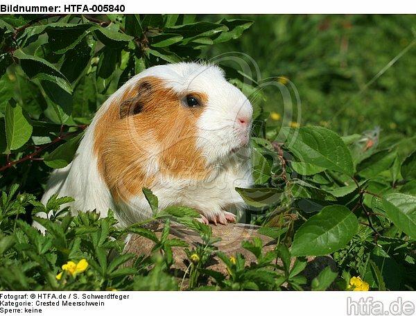 Crested Meerschwein / crested guninea pig / HTFA-005840