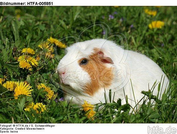 Crested Meerschwein / crested guninea pig / HTFA-005851