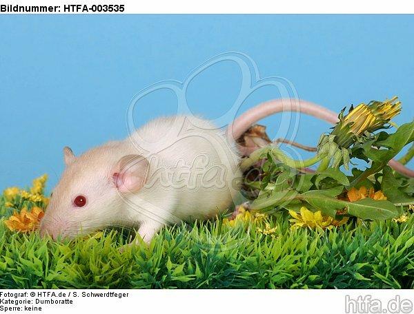 Dumboratte / rat / HTFA-003535