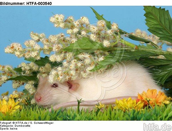 Dumboratte / rat / HTFA-003540
